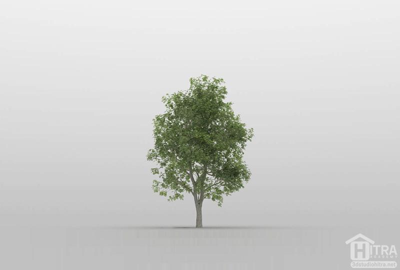 مدل سه بعدی درخت نارون